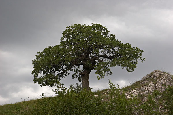 Pálava oak in a storm